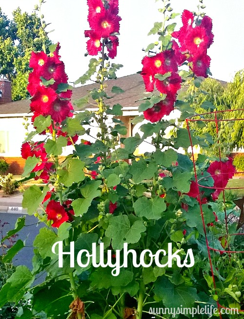 hollyhocks, cottage garden