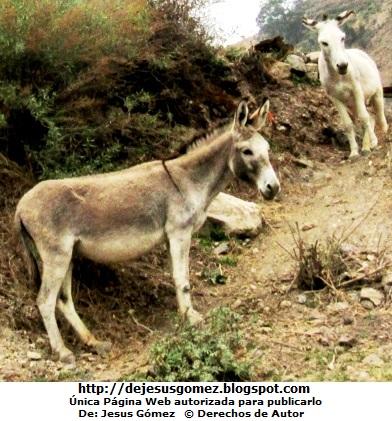 Foto de burros bajando de una quebrada. Foto de burros por Jesus Gómez