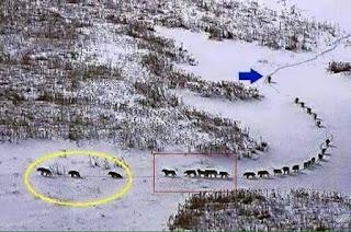 Uma alcatéia, ou seja, um bando de lobos atravessando a floresta