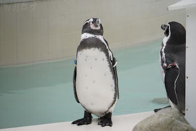 井の頭自然文化園のフンボルトペンギン