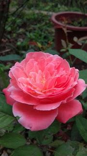 hoa hồng cổ đà lạt ra hoa màu cam