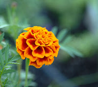 Marigold compresses for the swollen dark circles around the eyes