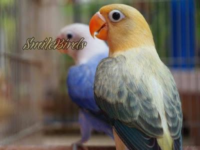 Rumus Rahasia Cetak Biola Parblue Euwing Jantan Sukses Dalam Burung Lovebird Rumus Rahasia Cetak Biola Parblue Euwing Jantan