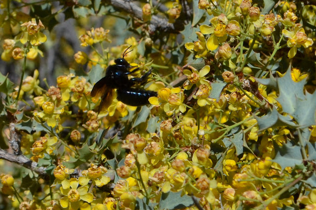 black wasp among profuse yellow flowers