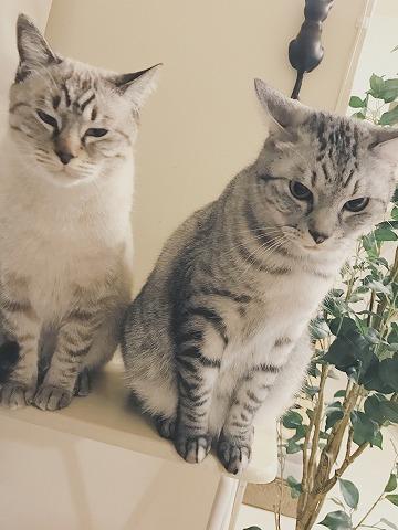 テーブルの上から台所をガン見している猫たち