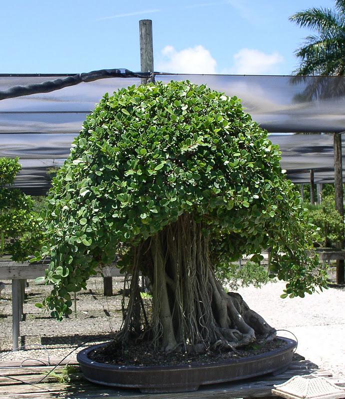 Florida Flowers And Gardens The Bonsai Garden At Miami