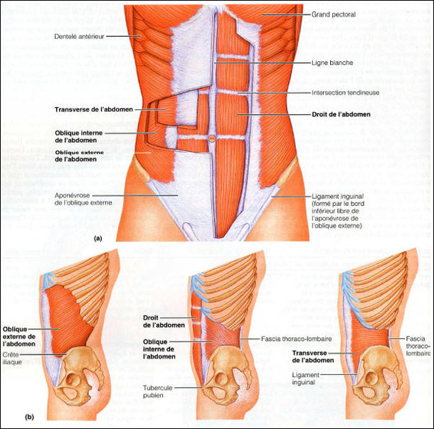 Muscles abdominaux vus de face et de côté