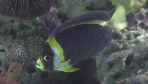 Scribbled Angelfish