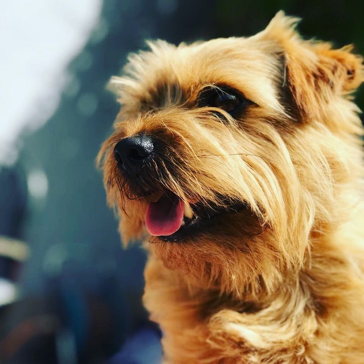 Norfolk Terrier - Informations sur la race de chien Terrier de Norfolk