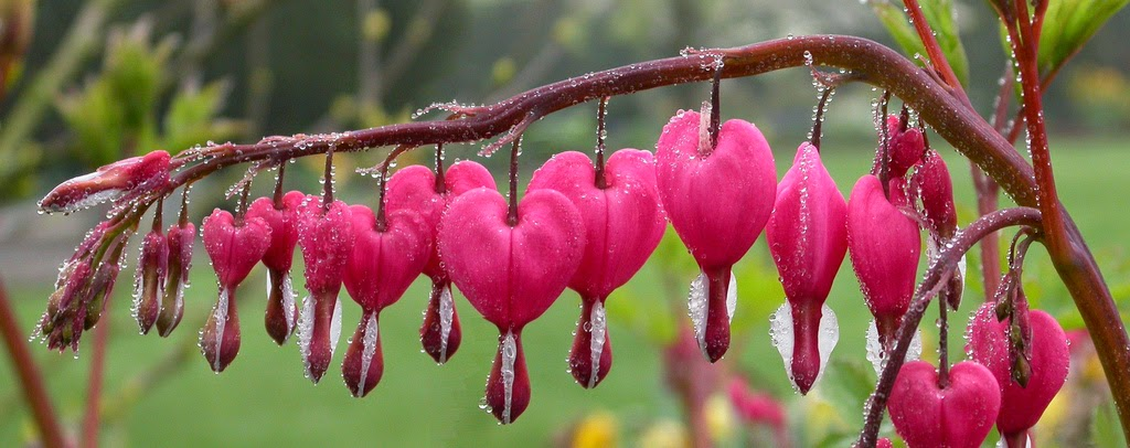 Bleeding heart - the flower