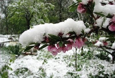 áprilisi tél, fagy, extrém sport, Kovászna megye, mezőgazdaság, gyümölcsfák, repce