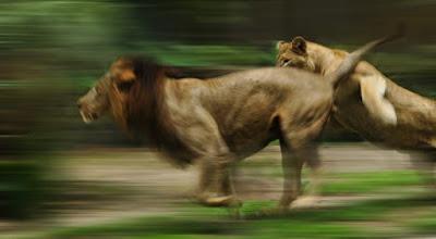 Singa - 80 km/jam