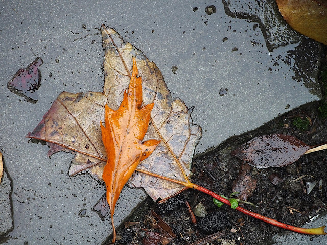 Orange Pop #OrangePop #orange #fall #fallincentralpark #leaves #foliage #fallenleaves #rainyday #nyc 2014