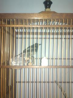 untuk sebagian para sahabat mungkin tidak mengenal berak kapur pada burung alasannya yaitu belum tahu Mengobati Berak Kapur Pada Burung Kacer