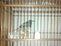 Mengobati Berak Kapur Pada Burung Kacer