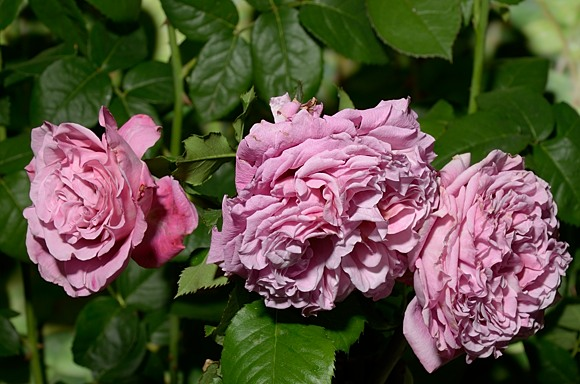 Agnes Schilliger rose сорт розы фото