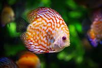 usaha ikan hias, urusan ekonomi ikan hias, ikan hias, ikan hias aquarium, urusan ekonomi ikan,