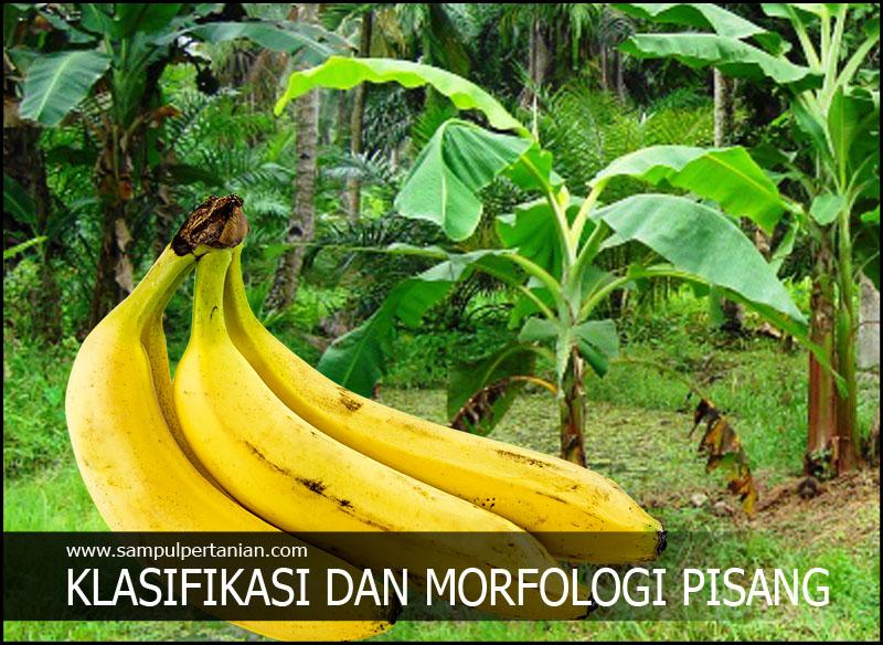 Klasifikasi Dan Morfologi Pisang Musa Parasidica
