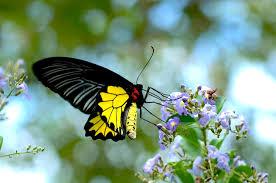 munnar butterfly