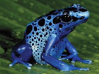 Racun Katak Anak Panah (Dart Frog)