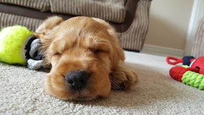 Nyugodt alvás, ahogy a kiskutyák csinálják