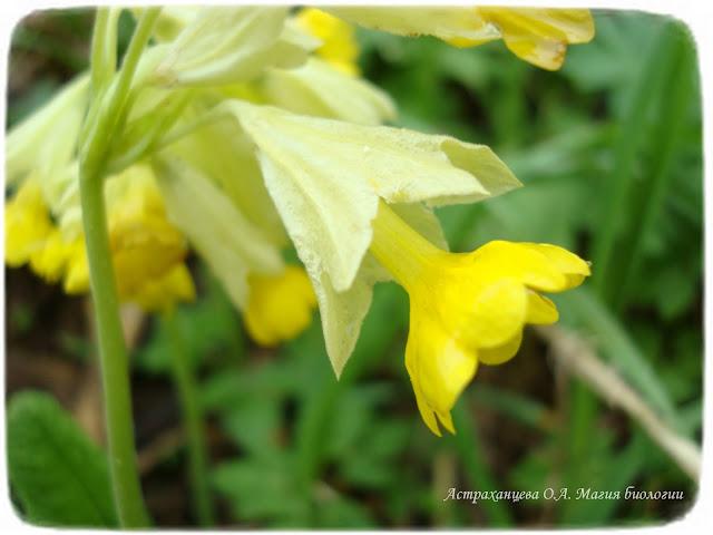 zagadki-pro-vesennie-cvety-podsnezhniki-pervocvet