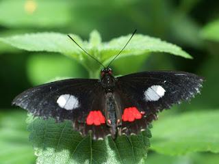 Parides sp. - Cattlehearts - Papillon noir et rouge