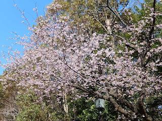 流鏑馬馬場の桜