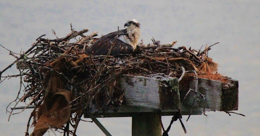 A Last Look At Mama Osprey