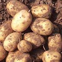 Papas Patatas cosechada en Cultura Aymara