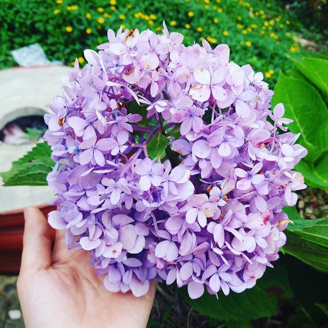 45 hình ảnh hoa Cẩm Tú Cầu & Ý nghĩa hoa Cẩm Tú Cầu là gì?