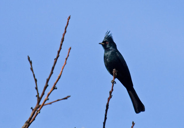 Phainopepla at Felicita County Park