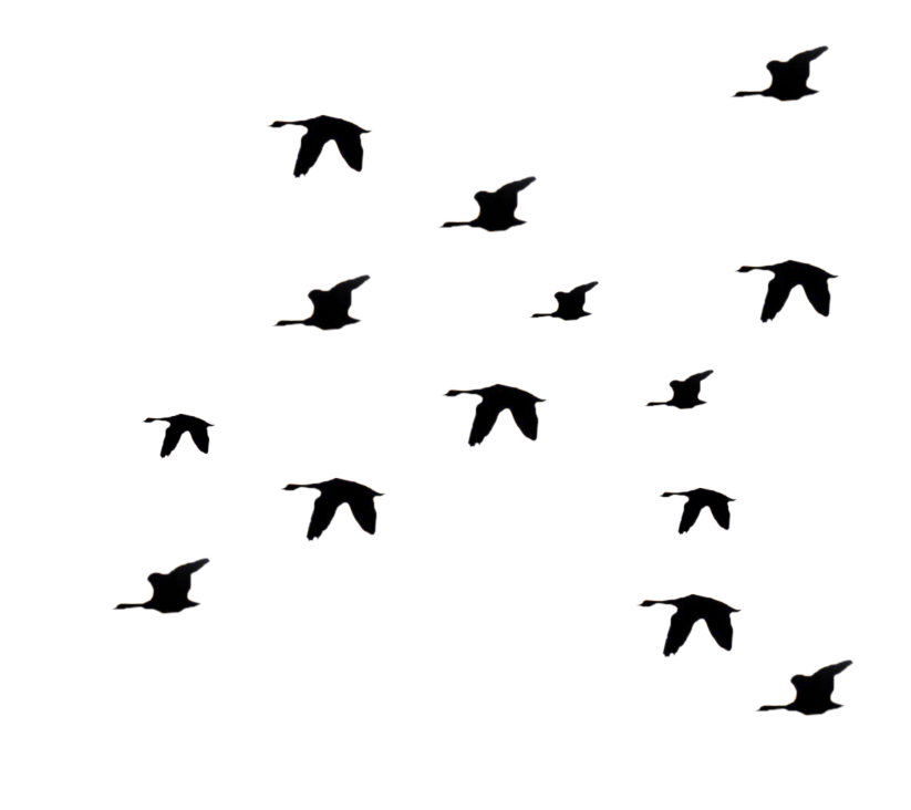 Flock of birds silhouette png - photo#32