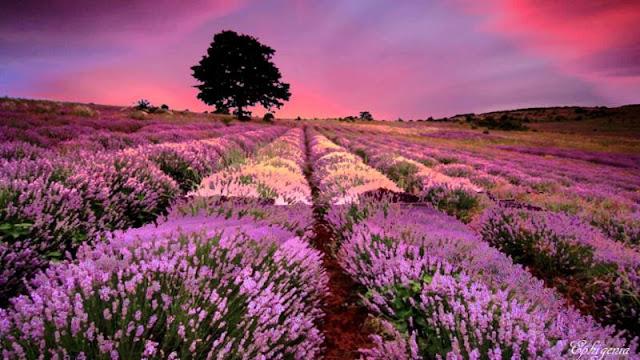 cánh đồng hoa oải hương đẹp nhất thế giới 19