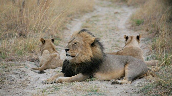 leeuw met vlees