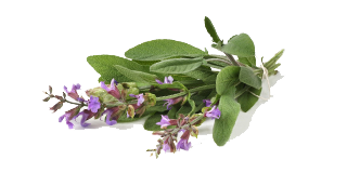 Salvia officinalis - garden sage