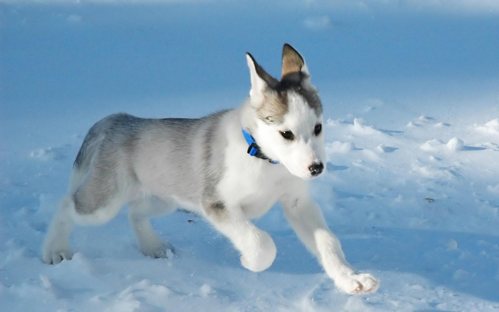 Everything about your Canadian Eskimo Dog - LUV My dogs
