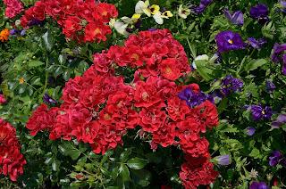 Matador сорт розы фото купить саженцы Минск Кузнецов