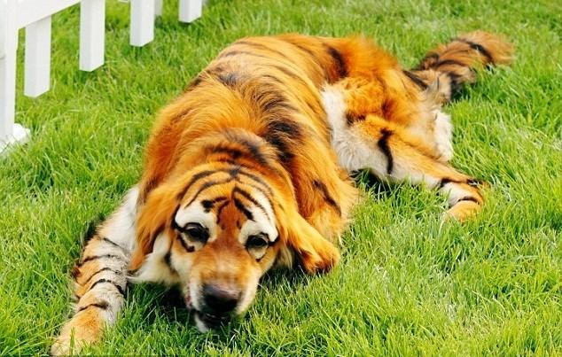 Tác hại việc nhuộm lông chó