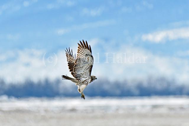 Hawk in the Sky
