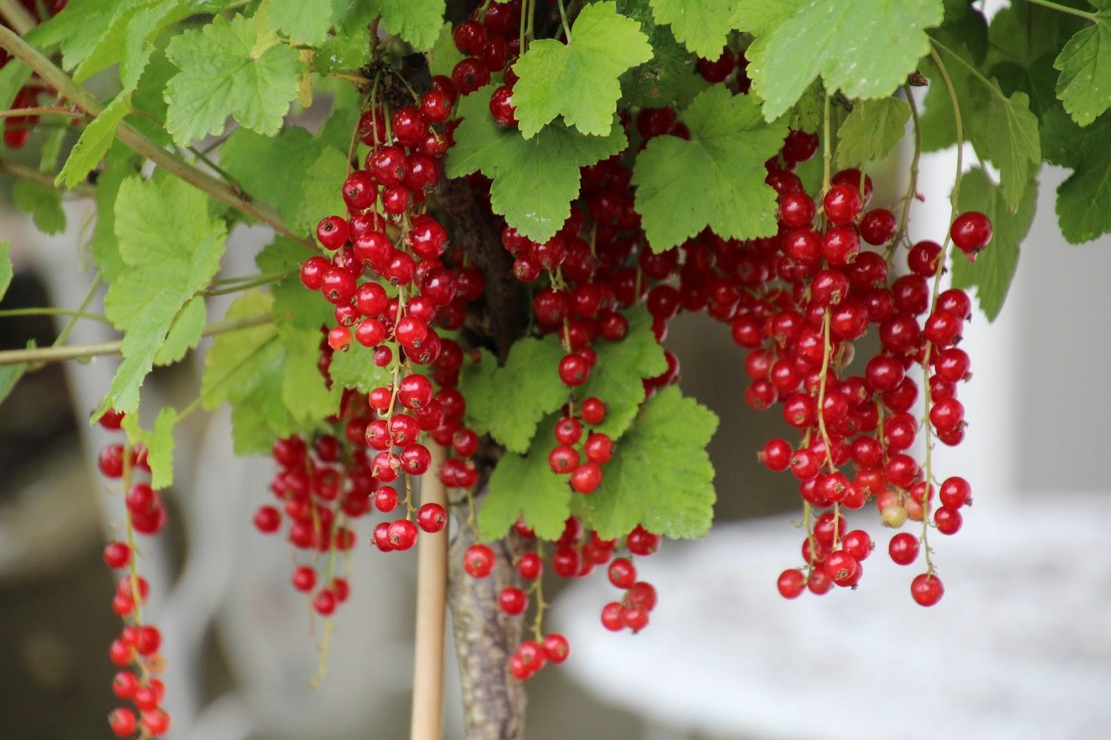 Röda vinbär Ribes rubrum 'Jonkheer van Tets'