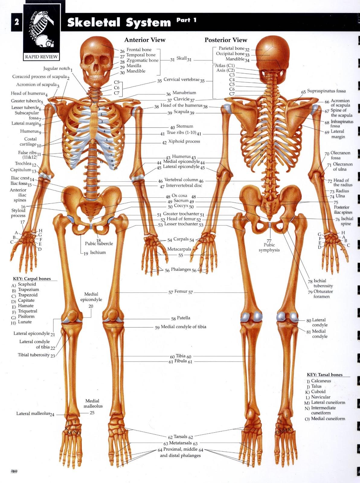Anira Forever Sistem Muskuloskeletal 001