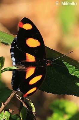 Mariposa terciopelo Catonephele numilia
