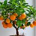 Evde portakal ağacı yetiştirme