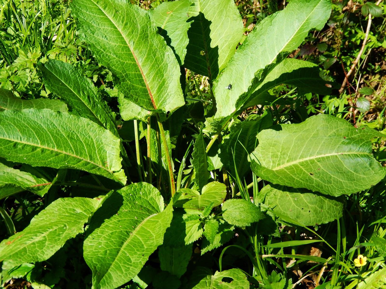 wasabi pflanzen anbau