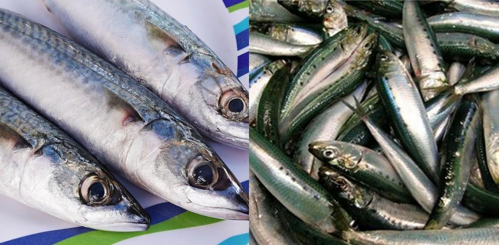 Perbedaan ikan makarel dan sarden