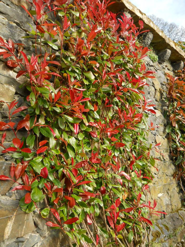 Anemone Times Bodnant Garden