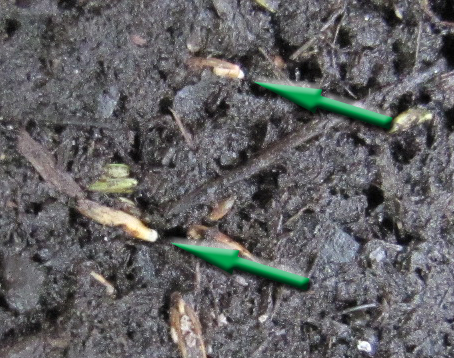 This Is The Sign That Tells You Seeds Should Be Planted Within 24hrs Max Don T Let Germinate Fully And Develop Roots In Your Wheel