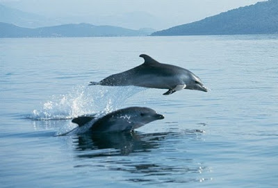 Δελφίνια κάνουν βόλτες στον κόλπο της Ηγουμενίτσας (+ΒΙΝΤΕΟ)