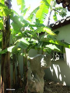banana, Chinese garden